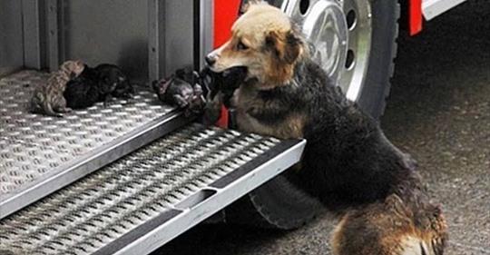 Собака выносила своих щенков из огня в пожарную машину, умоляя спасти ее деток
