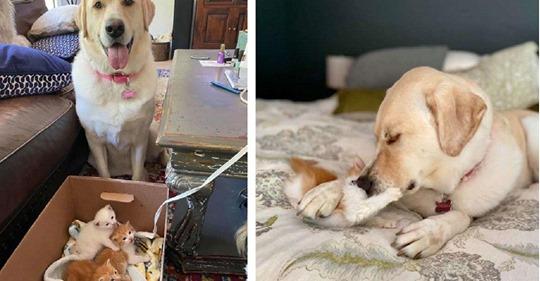 Лабрадор приютил брошенных котят и заменил им маму. Собака заботится о них и не оставляет их не на секунду