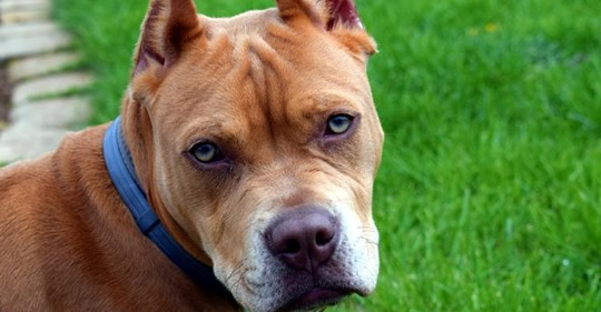 11 летний питбуль не пускал хозяев в дом, поскольку умный пес чувствовал неладное