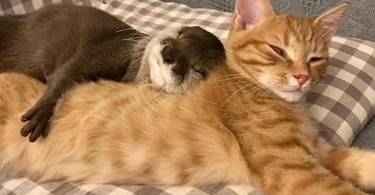 Трогательное видео: выдра и кошка сладко спят в обнимку