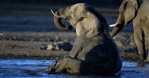 В Польше слонам будут лечить стресс марихуаной, но эффекта придется ждать долго