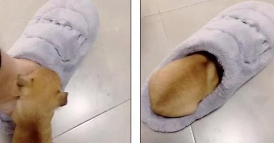 Крошка щенок отобрал у хозяйки мягкий тапочек и стал кумиром соцсетей!