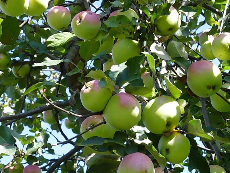 Как правильно привить яблоню