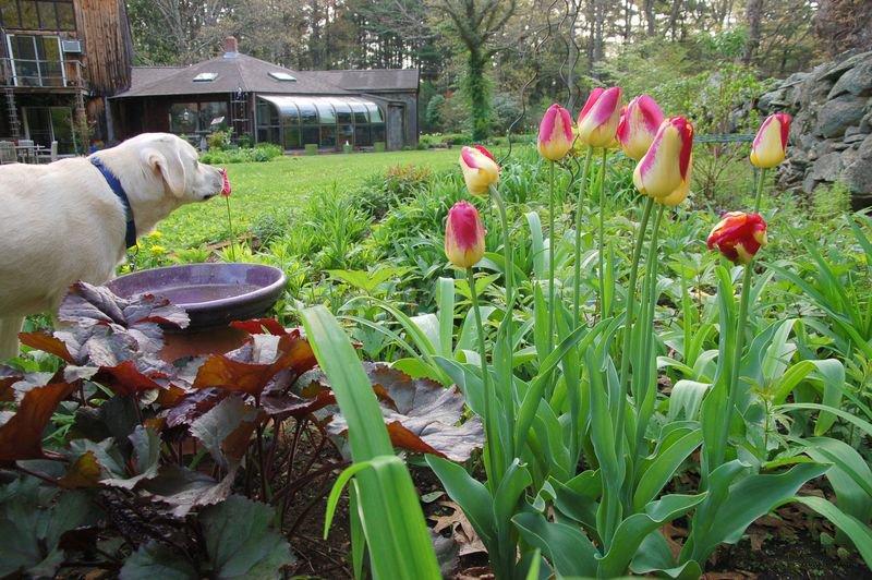 Как ухаживать за тюльпанами после цветения