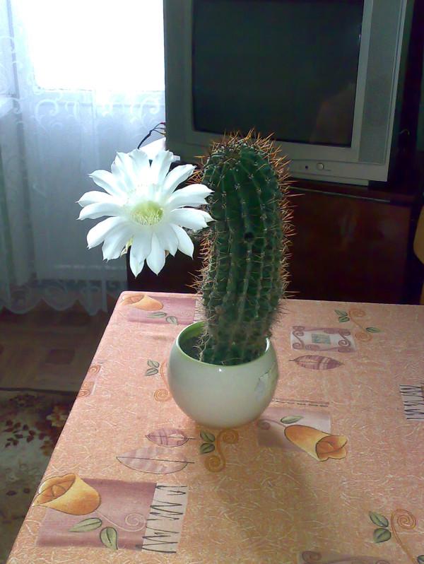 Уменя зацвел кактус
