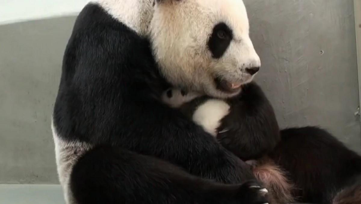 Панде маме впервые показали ее маленького сына.