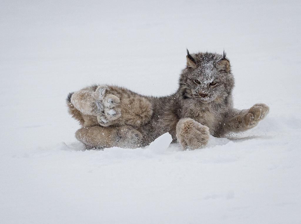 """""""Котик"""" с огромными лапками снегоходами… Вы должны его увидеть!"""