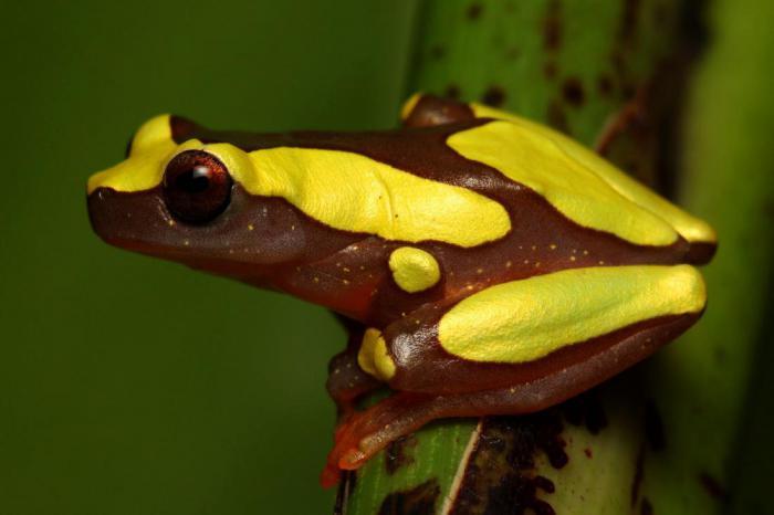 В бассейне Амазонки открыли два новых вида лягушек клоунов